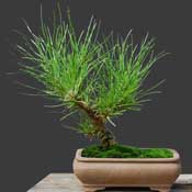 Florida Slash Pine
